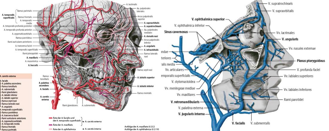 Kapitel 2: Der Schädel: Knochen, Arterien, Venen, Muskeln und Gehirn ...