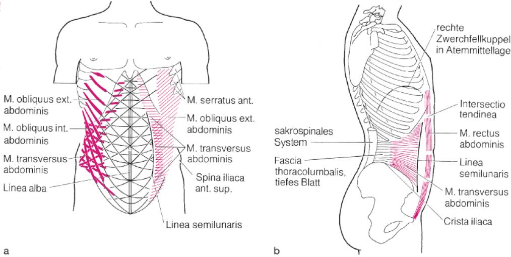 Kapitel 5: Abdomen: Gebiete, Muskeln, Versorgung und Organe ...
