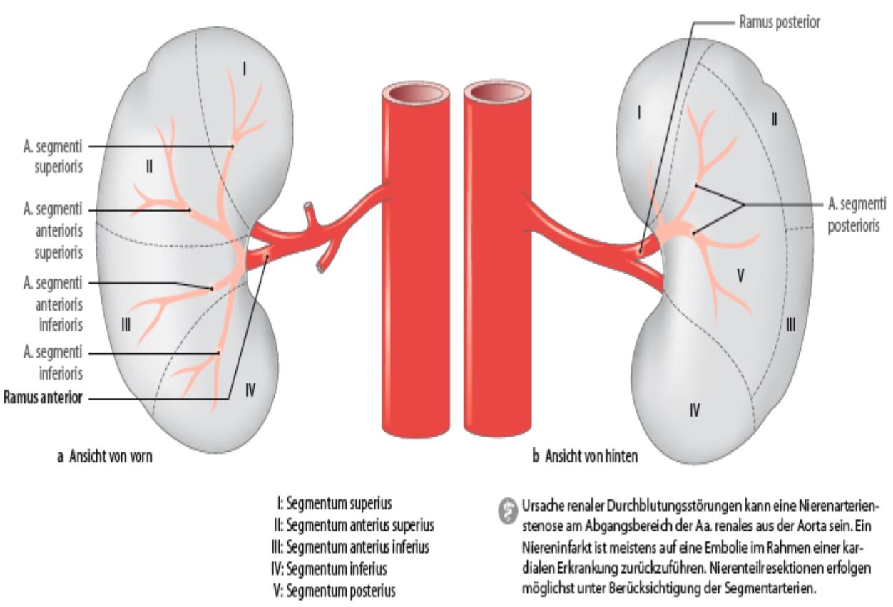 Kapitel 6: Das Becken: Urogenitalorgane, Knöchernes Becken und Muskeln