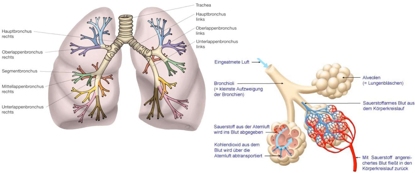 Ungewöhnlich Bronchien Ideen - Menschliche Anatomie Bilder ...